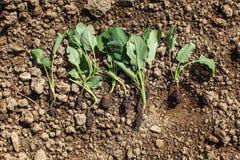 Giovani piante di lattante del cavolo rapa - pronte ad essere piantato in groun fotografia stock