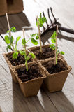 Giovani piante di piselli Fotografia Stock