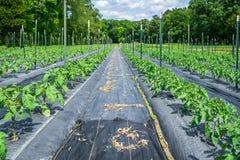 Giovani piante di pomodori nel campo Fotografie Stock