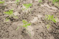 Giovani piante di pomodori su terra incrinata asciutta immagini stock