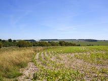 Giovani piante e siepi di arbusti di mais in un paesaggio inglese nell'estate Fotografia Stock Libera da Diritti