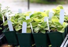 Giovani piante perenni Fotografie Stock