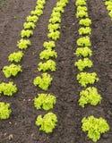 Giovani piante verdi ricce della lattuga di foglia nel suolo Fotografia Stock