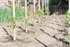 Giovani piantine dei pomodori allegati ai pali Fotografie Stock Libere da Diritti