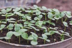 Giovani piantine del cetriolo nella terra Immagine Stock