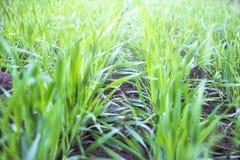Giovani piantine del grano che crescono nel campo immagine stock