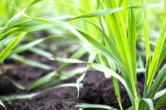 Giovani piantine di grano e di orzo che crescono sul campo in una fila fotografia stock libera da diritti