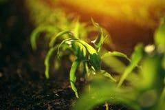 Giovani piccole piantine della pianta di cereale in suolo Immagini Stock Libere da Diritti