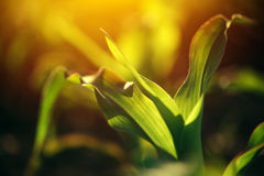 Giovani piccole piantine della pianta di cereale in suolo Immagine Stock Libera da Diritti