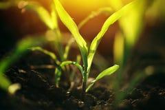 Giovani piccole piantine della pianta di cereale in suolo Immagine Stock