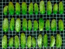 Giovani piccoli cetrioli Fotografia Stock
