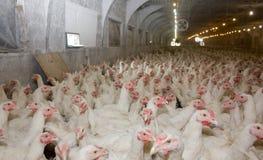 Giovani polli da carne Fotografie Stock