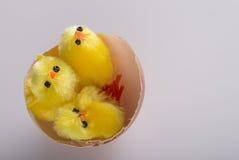 Giovani polli nelle coperture del ` s dell'uovo Fotografia Stock