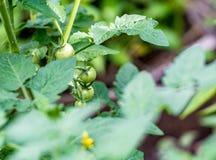 Giovani pomodori verdi sul gambo Fotografia Stock