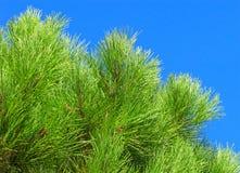 Giovani rami del pino Fotografia Stock