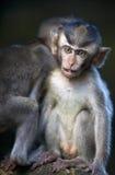 Giovani scimmie Immagine Stock Libera da Diritti