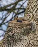 Giovani scoiattoli che bighellonano cavità fotografia stock libera da diritti