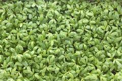 Giovani semenzali del crescione Fotografie Stock