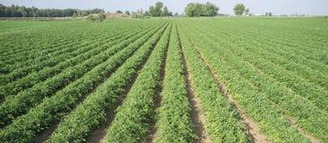 Giovani solchi della piantagione dei pomodori Immagine Stock