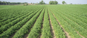 Giovani solchi della piantagione dei pomodori Fotografie Stock Libere da Diritti