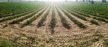 Giovani solchi della piantagione dei pomodori Colpo panoramico Immagini Stock