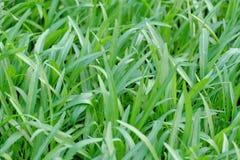 Giovani spinaci dell'acqua di abbondanza che crescono in un letto di verdure in giardino all'aperto nella città immagine stock