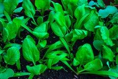 Giovani spinacia oleracea degli spinaci e raphanistrum di Raphanus delle piantine del ravanello con le foglie verde intenso Immagini Stock Libere da Diritti