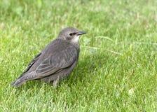 giovani starling del terreno comunale Fotografie Stock