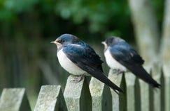 Giovani swallows Immagine Stock