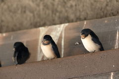 Giovani swallows Fotografia Stock