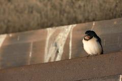 Giovani swallows Immagini Stock Libere da Diritti