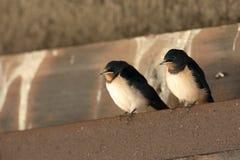 Giovani swallows Fotografie Stock