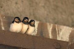 Giovani swallows Immagini Stock