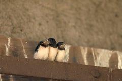 Giovani swallows Fotografia Stock Libera da Diritti