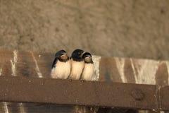 Giovani swallows Fotografie Stock Libere da Diritti
