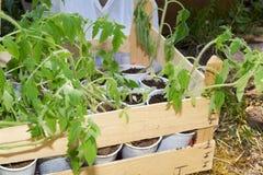 Giovani tazze di plastica eliminabili crescenti delle piante di pomodori in scatola di legno Fotografia Stock Libera da Diritti