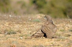 giovani terre del falco sulla terra Fotografia Stock