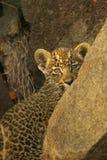 giovani timidi del leopardo del cub Immagini Stock