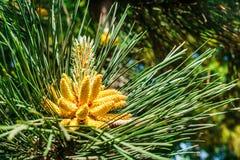 Giovani tiri del pino in molla in anticipo fotografia stock