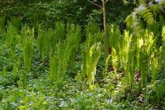 Giovani tiri della felce della foresta in primavera Fotografie Stock Libere da Diritti