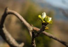 Giovani tiri della molla delle foglie verdi su un ramo Immagini Stock Libere da Diritti