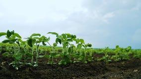 Giovani tiri della soia in un campo agricolo stock footage