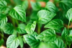 Giovani tiri verdi di peperone dolce con le foglie succose Piantine di peperone dolce fotografia stock