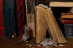 Giovani topi del primo piano due ed i vecchi libri sulla pavimentazione nella biblioteca fotografia stock libera da diritti