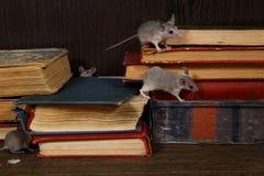 Giovani topi del primo piano quattro sui vecchi libri sulla pavimentazione nella biblioteca fotografia stock libera da diritti