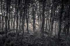 Giovani tronchi della quercia in bianco e nero Immagine Stock