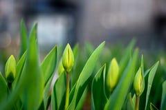 Giovani tulipani freschi fotografie stock