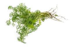 Giovani verdi della verdura fresca Immagine Stock