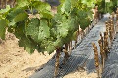 Giovani vigne nelle righe. Fotografia Stock