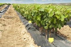 Giovani vigne nelle righe. Fotografie Stock
